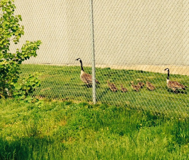 Geese outside the NordicWare factory
