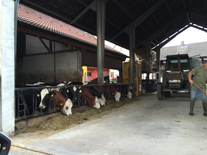Dairy cows in Herzogenaurach, Germany